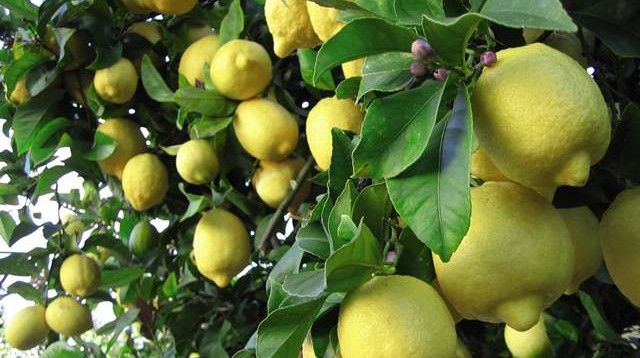 GUEST BLOG Lis Wallace Sutton Seeds Lemon