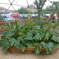 Growing courgettes, chilli, cucumber and corn